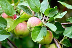 Apples red and green on branch Stock Photos