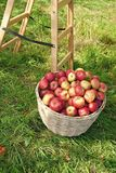 Apples red ripe fruits basket on grass near ladder. Apple harvest concept. Ripe organic fruits in garden. Autumn stock photos