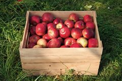 Apples red ripe fruits in wooden box on grass. Apple harvest concept. Ripe organic fruits in garden. Autumn fruit and royalty free stock photography