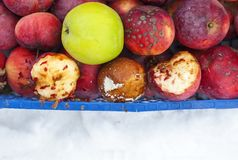 Apples red rotting aging apple old dry. Fruit Royalty Free Stock Photography