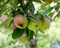 Apples with red striping on branch with leaves Royalty Free Stock Image