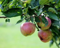 Apples with red striping on branch with leaves Stock Photos