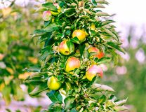 Apples red yellow Malus pumila on a branch ready to harvest royalty free stock image
