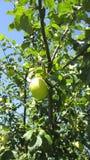 Apples 3 Royalty Free Stock Photos