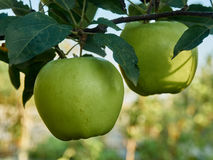2 apples. 2 ripe green apple on a branch Stock Photo