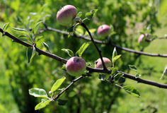 Apples ripen on a tree branch Stock Image