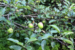 Apples ripen on a tree branch Stock Photos