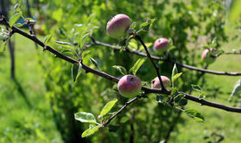 Apples ripen on a tree branch Royalty Free Stock Photo