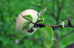 Apples ripen on a tree branch Royalty Free Stock Photos