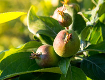 Apples ripen. Young apples ripen under the rays of the June sun Stock Image