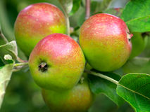 Apples ripening Royalty Free Stock Photos