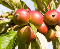 Apples ripening on the tree. Six apples ripening on the tree in late summer Stock Photos
