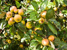 Apples ripening on tree Royalty Free Stock Photography
