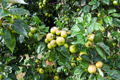 Apples ripening on tree Royalty Free Stock Images