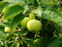 Apples ripening on the tree Royalty Free Stock Image
