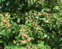 Apples ripening Stock Photos