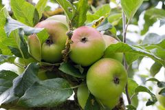 Apples - variety of Fearns Pippin Royalty Free Stock Image