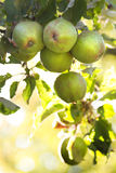 Apples riping on appletree in summer. Apples in morningsun riping on appletree in summer - vertical image Royalty Free Stock Photo