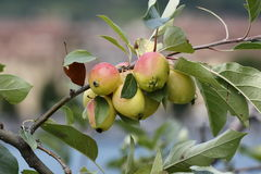 Apples. Small waiting apples of the harvest season Stock Photos