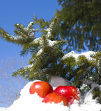 Apples in snow. Against the sky and a fur-tree branch Royalty Free Stock Photos
