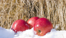 Apples in snow. The image of Apples in snow against hay Royalty Free Stock Image