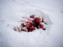 Apples in snow. After a first snow, apples for deer were buried Royalty Free Stock Photography
