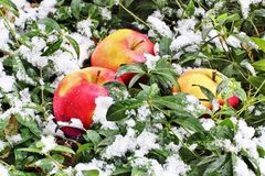 Apples in the snow. stock image