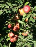 Apples. Some apple on a apple-tree in a garden Royalty Free Stock Images