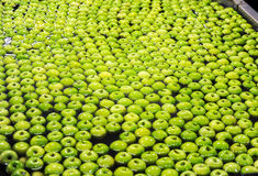 Apples sorting and packing. Green delicious apples in packing tub at fruit warehouse Royalty Free Stock Photos