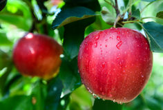 Apples in spring Stock Photography