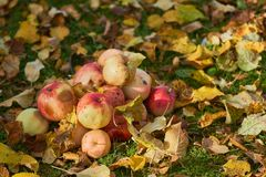 Apples stacked in a pile on the ground in the garden Royalty Free Stock Photography