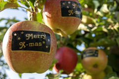 Apples with stickers with text Merry X-mass in tree Stock Photos