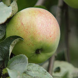 Apples. Stock of delicious green apples Royalty Free Stock Photography