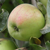 Apples. Stock of delicious green apples Stock Images