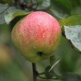 Apples. Stock of delicious red-green apples Royalty Free Stock Photos