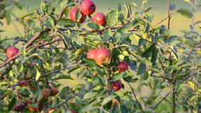 Apple tree blowing in the wind. Stock footage of an apple tree in the sun stock video