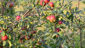 Apple tree blowing in the wind. Stock footage of an apple tree in the sun stock video footage