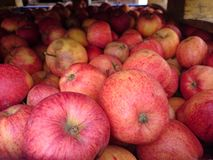 Red apples starting to ferment. Apples waiting to be turned into cider Royalty Free Stock Photo