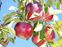 Apples in the sun. Apples hanging on the tree in the sunshine are ripe for picking Royalty Free Stock Photo