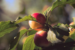 Apples. Sunlit apples on a branch Stock Images