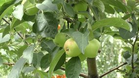 Apples swinging in the wind stock video