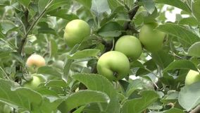 Apples swinging in the wind stock footage