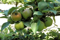 Apples to a branch in an orchard. Fruit plant or tree at bright daylight Stock Photo