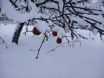 Apples on to snow Royalty Free Stock Images