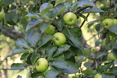Apples on tree Stock Photo
