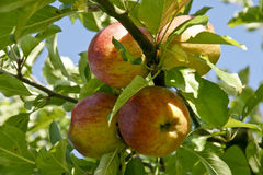 Apples on tree. Fresh apples growing on a tree Royalty Free Stock Photography