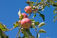 Apples on tree. Ripe apples on tree branch Royalty Free Stock Photography