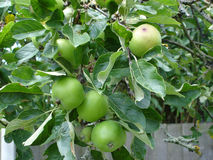 Apples on a tree. Apples growing in an orchard Royalty Free Stock Image