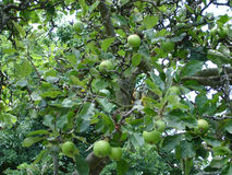 Apples on a tree. Apples growing in an orchard Royalty Free Stock Photography