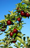 Apples in the Tree. A branch filled with red shiny apples against a blue sky Stock Images